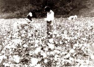 Yonggan raw cotton field in 1960s